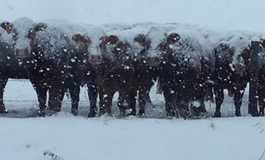 Protiruské sankce donutily firmu Danone poslat na Sibiř 5 tisíc krav