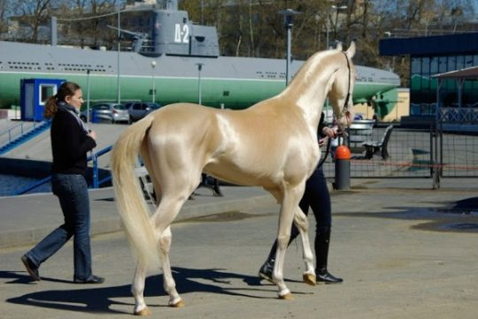 Lidé toto vzácné stvoření nazývají nejkrásnějším koněm na planetě
