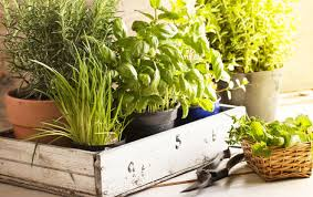V koupelně máme neustále tyto rostlinky. Moje kůže je zdravá, imunita silná a vlasy září jako nikdy předtím