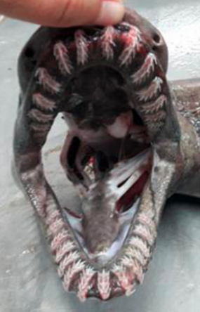 Tajemný druh žraloka byl chycen u Portugalska