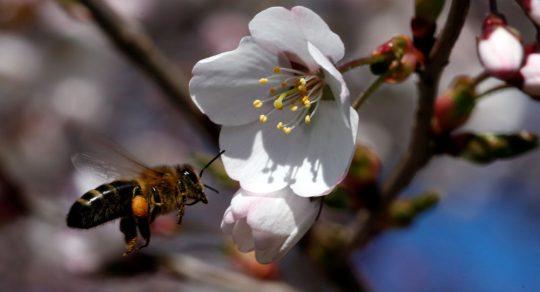 Ruští vědci objevili protirakovinové vlastnosti včelího jedu