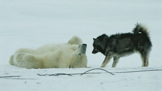 Lední medvěd objímá psa. Video