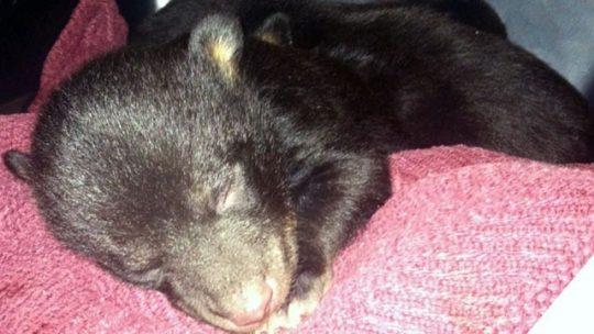 Na smetišti našli krabici s novorozenými medvíďaty (VIDEO)