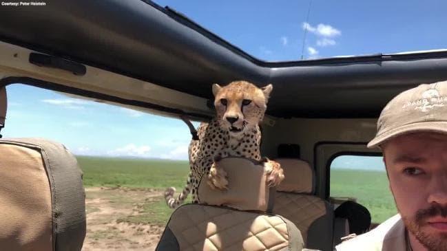 """VIDEO: """"Svezeš mě kámo?"""" V Tanzánii si gepard chytil taxi plné šokovaných turistů"""