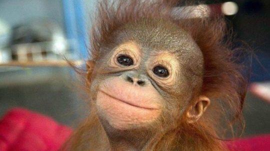 Vědci prokázali, že mláďata opic se smějí podobně jako děti