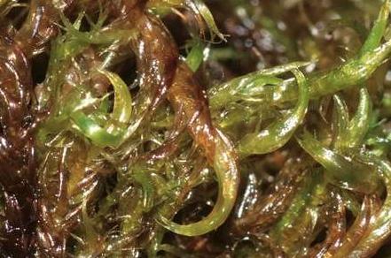 Jistý druh mechu dokáže skvěle čistit vodu od arsenu
