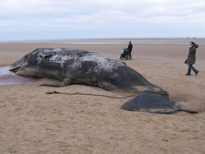 Mrtvý vorvaň ve Španělsku měl ve střevech neuvěřitelných 29 kilogramů plastového odpadu
