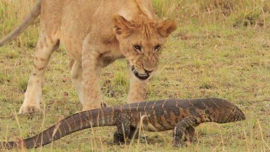 Buvol nabral lva na rohy a zachránil ještěrku (VIDEO)