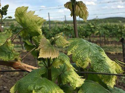 Zemědělci na Moravě stříkali za větru kukuřici herbicidem a spálili 12 hektarů okolních vinic