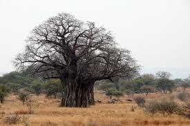 Africké baobaby staré více než 1000 let vymírají rekordní rychlostí