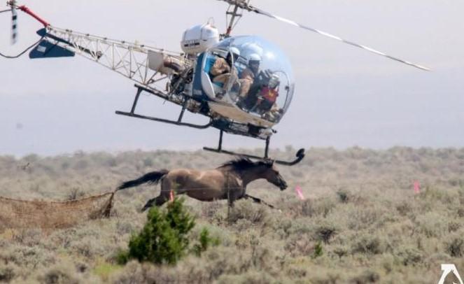 Toto dělá vláda USA americkým divokým koním