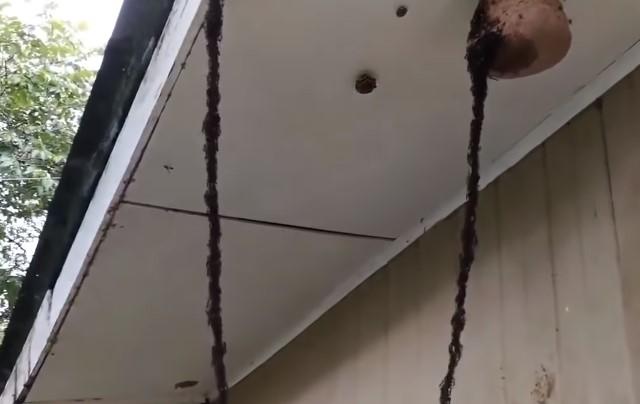 Armáda mravenců se rozhodla rozkrást vosí hnízdo. Toto video vás překvapí