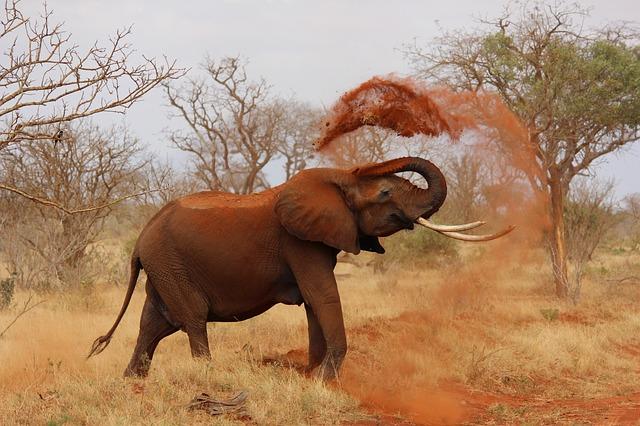 U slonů byl zaznamenám zajímavý vývoj – ztrácejí kly, aby přežili pytláctví