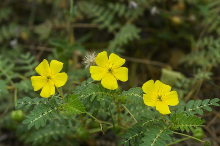 Kotvičník zemní: Výborná bylina proti hormonálním problémům