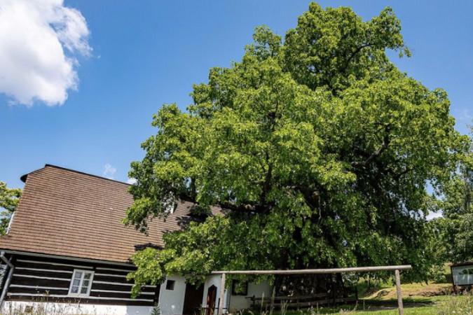 Vítěz ankety Strom roku 2021: Lukásova lípa
